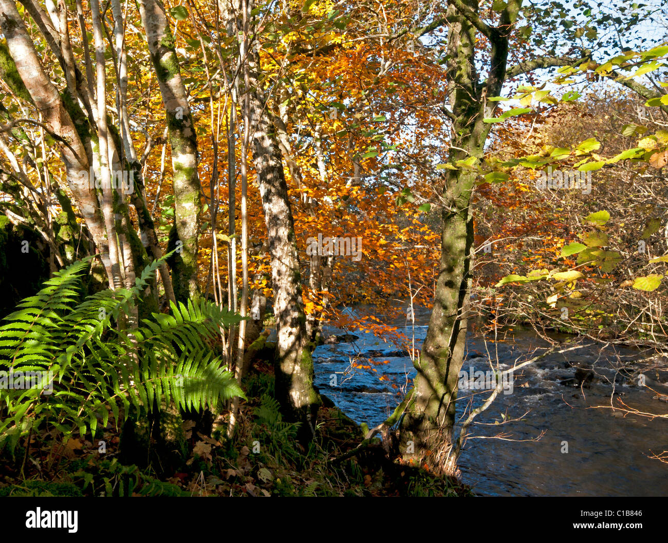 Rich Autumn colours of a riverside habitat with Beech, ferns Alder and blue reflection on water - Stock Image