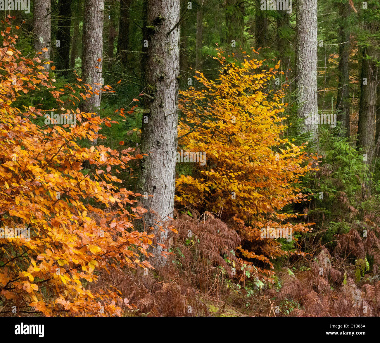 Rich orange browns of autumn beech leaves at foot of trunks of Spruce plantation Stock Photo