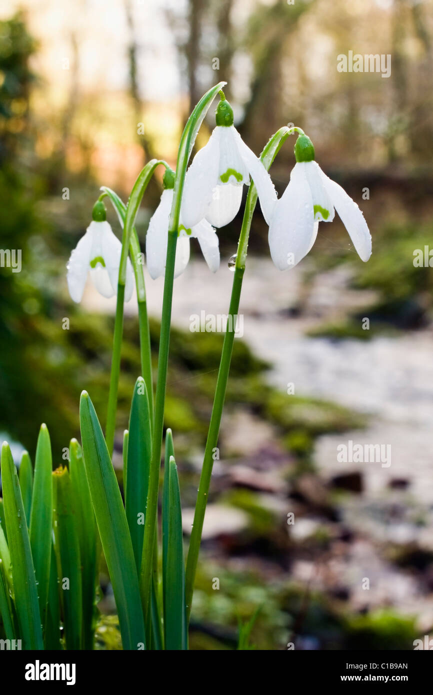 Snowdrops growing at the edge of a stream - Stock Image