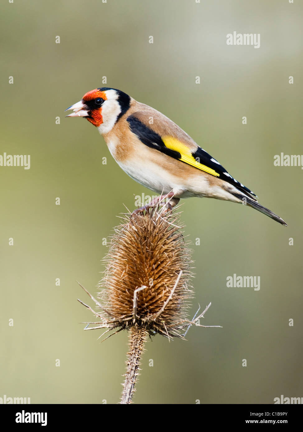Goldfinch perched on dried Teasel - Stock Image