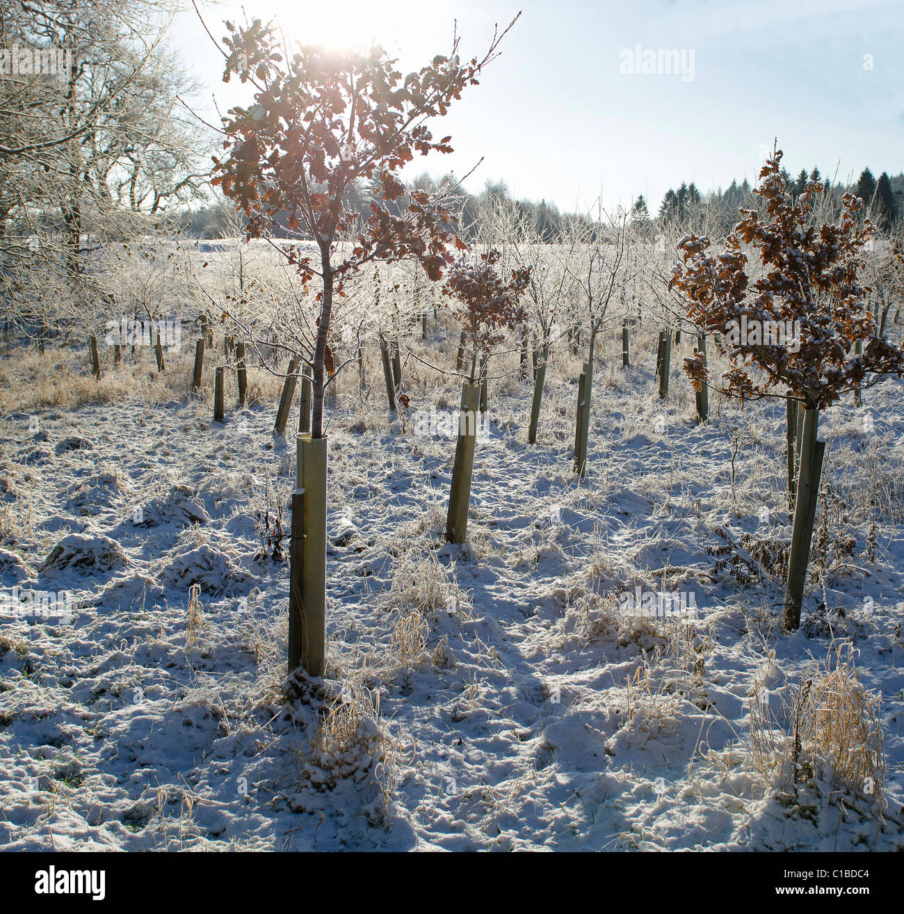 Small plantation of young Oak saplings at corner of field in winter fresh crisp winter conditions - Stock Image