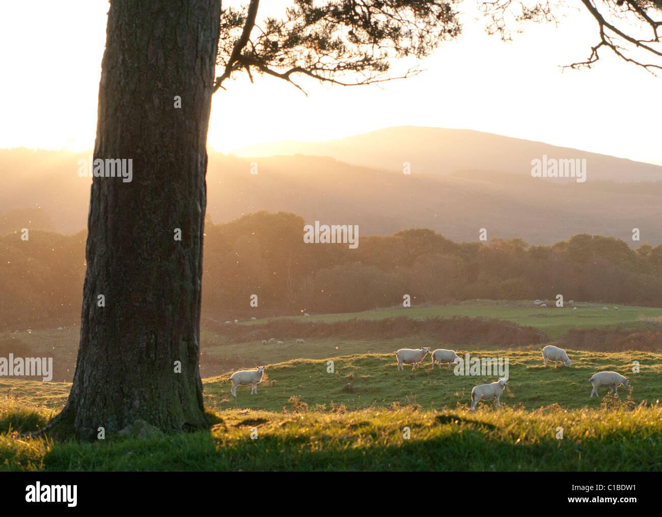 Tree trunk and sheep at sundown - Stock Image
