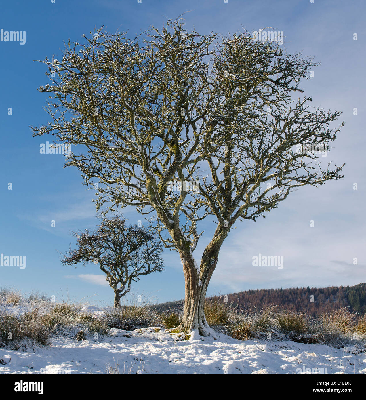 Two Hawthorn trees in stark beautiful winter sunshine with snow and blue sky - Stock Image