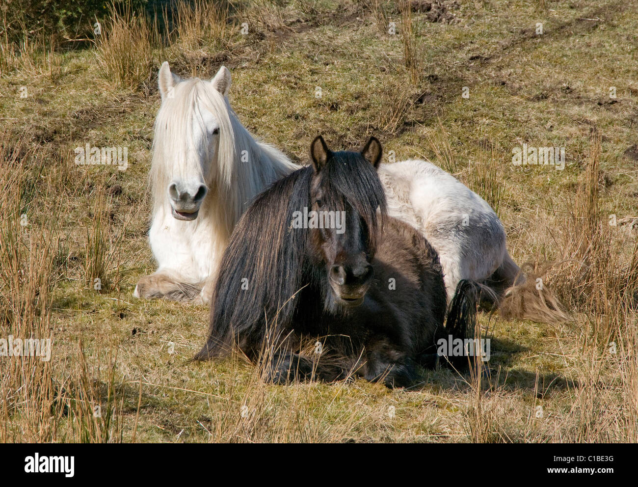 Two Highland Ponies relaxing in field one black one white with long groomed manes - Stock Image