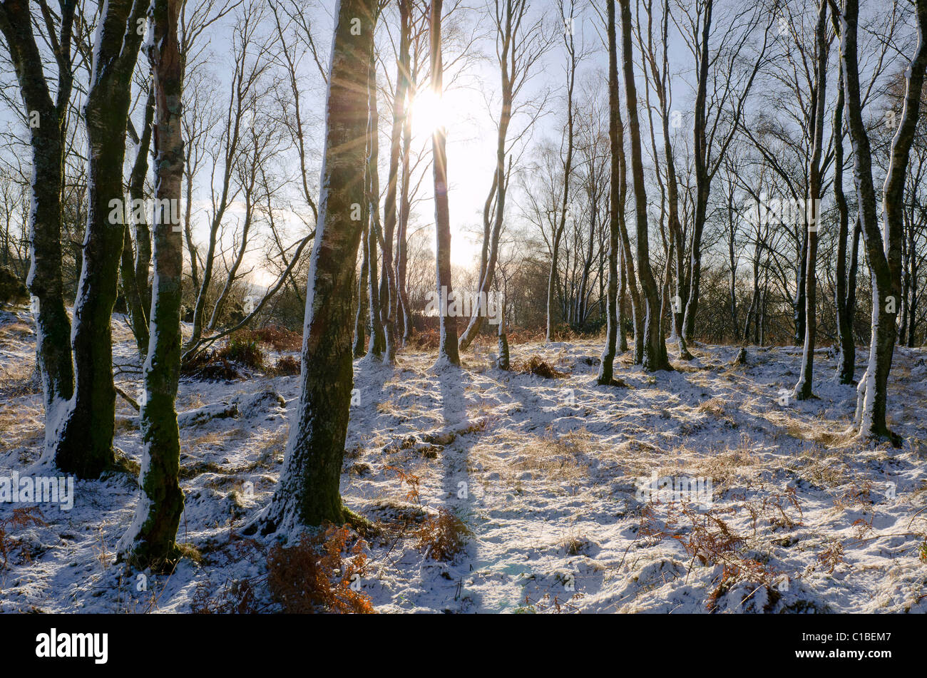 wintery scene with birch copse and low sun glinting through trees, Galloway - Stock Image
