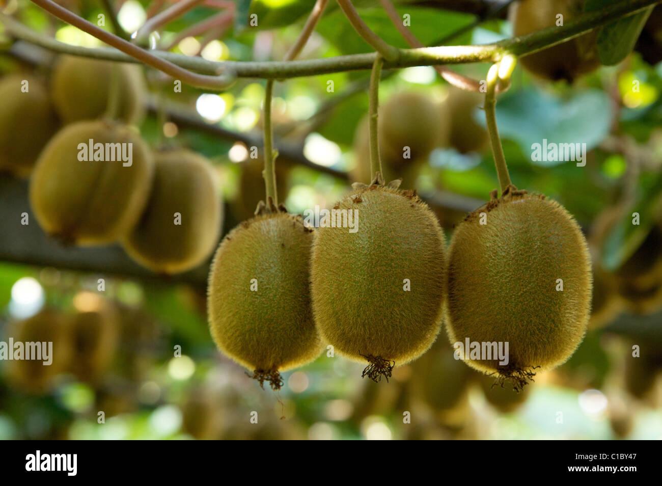 Kiwis fruits plant, Trentino Alto Adige, Italy, Europe - Stock Image