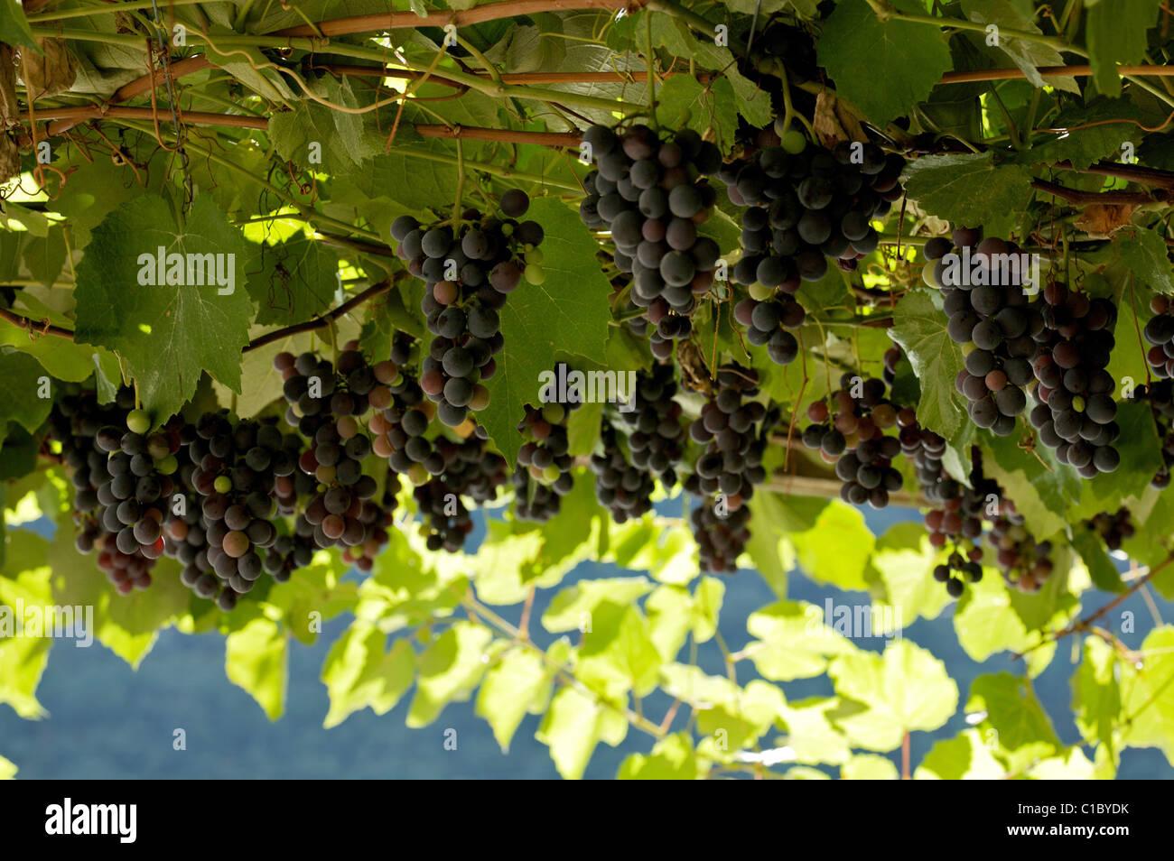 Uva fragola grape, Trentino Alto Adige, Italy, Europe - Stock Image