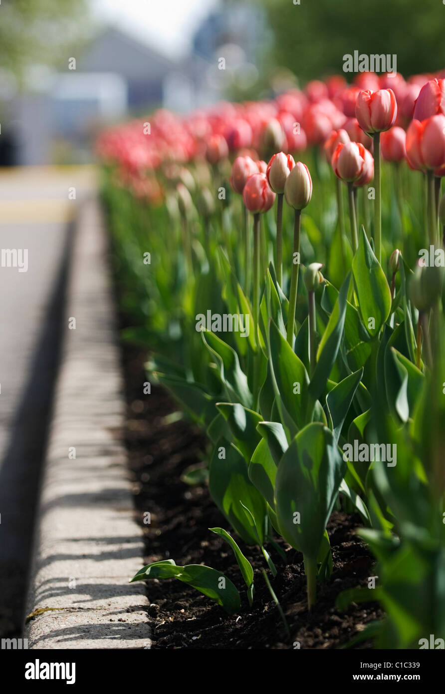 Spring tulips in the Nation's Capital, Ottawa Canada Stock Photo