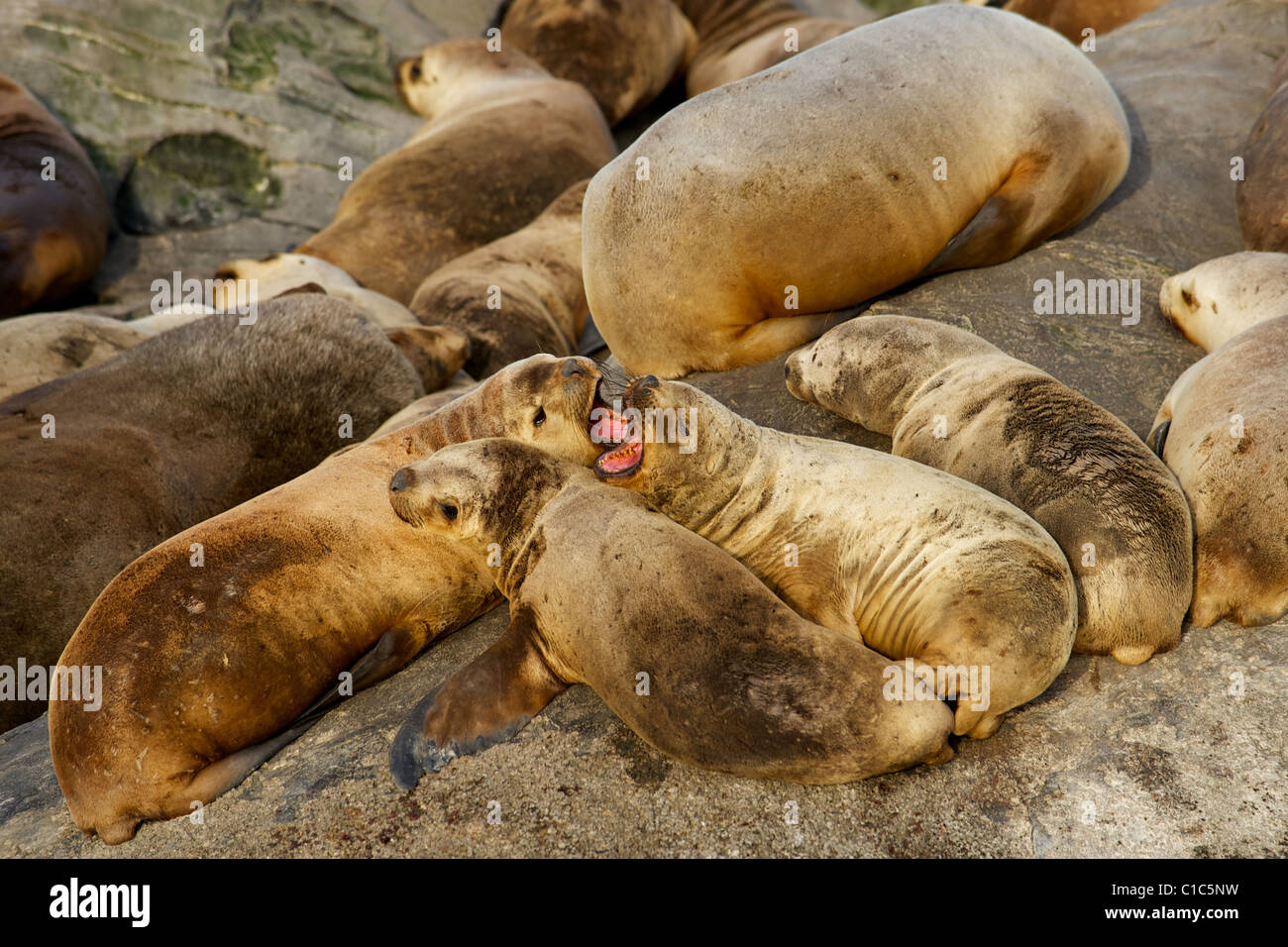 Sea lions relaxing on rocks. - Stock Image
