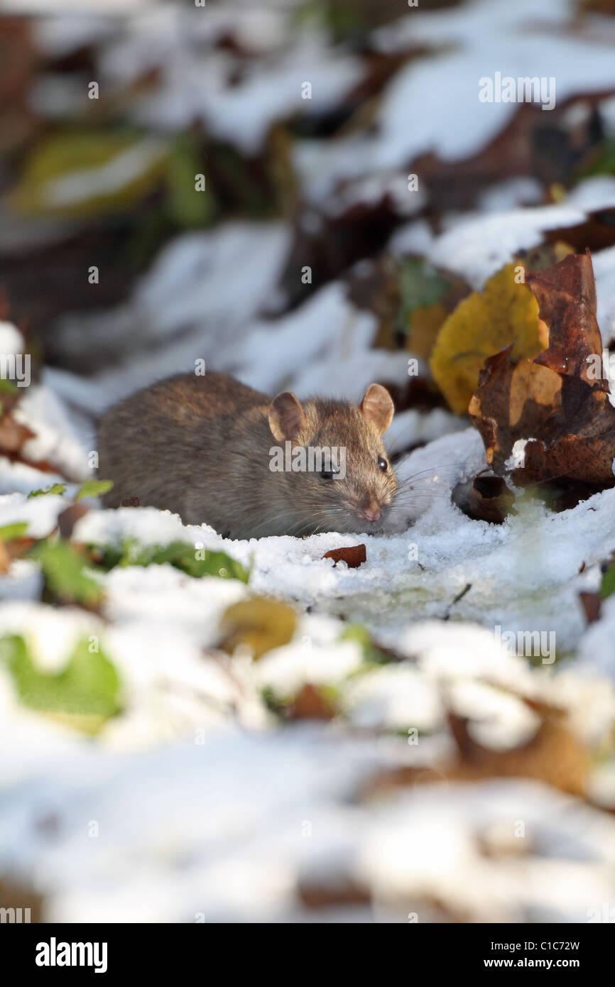 Brown Common Sewer Hanover rat, Norway rat, Brown Norway Norwegian Wharf Rat (Rattus norvegicus) - Stock Image