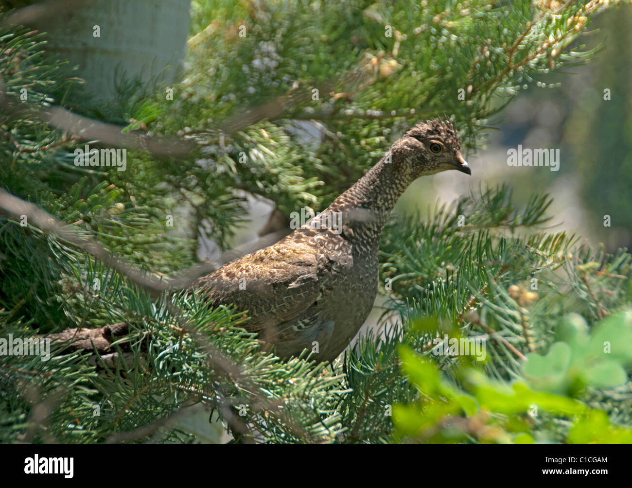 Female Blue Grouse (Dendragapus obscurus) near Ouray, Colorado US. - Stock Image
