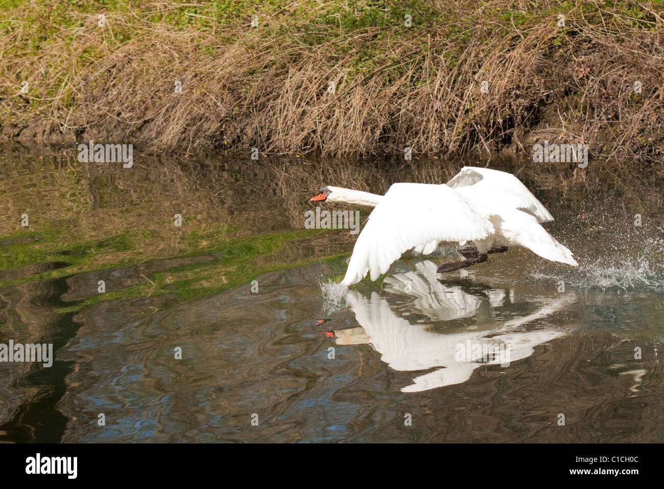 Goose landing on the river in nature - Stock Image
