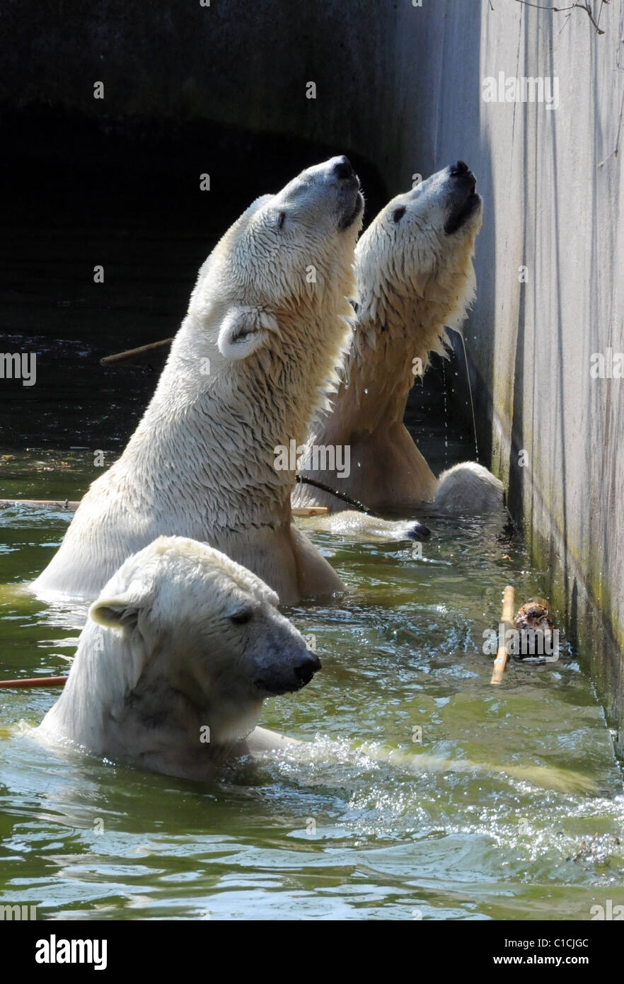polar bears at their enclosure at berlin zoo after the incident stock photo 35313388 alamy. Black Bedroom Furniture Sets. Home Design Ideas