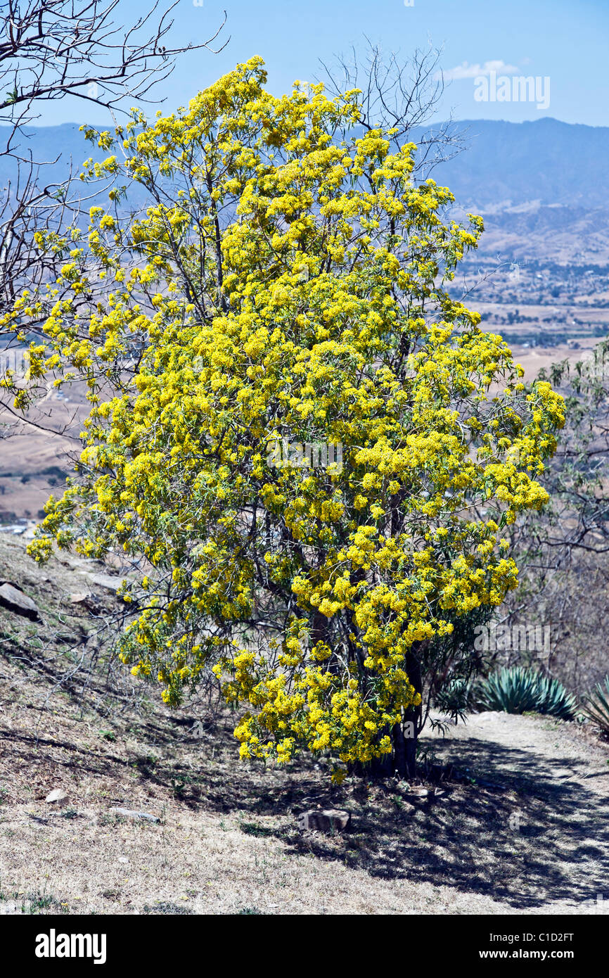 Yellow Flowering Acacia Tree Blooming On Hillside Below Ruins Of