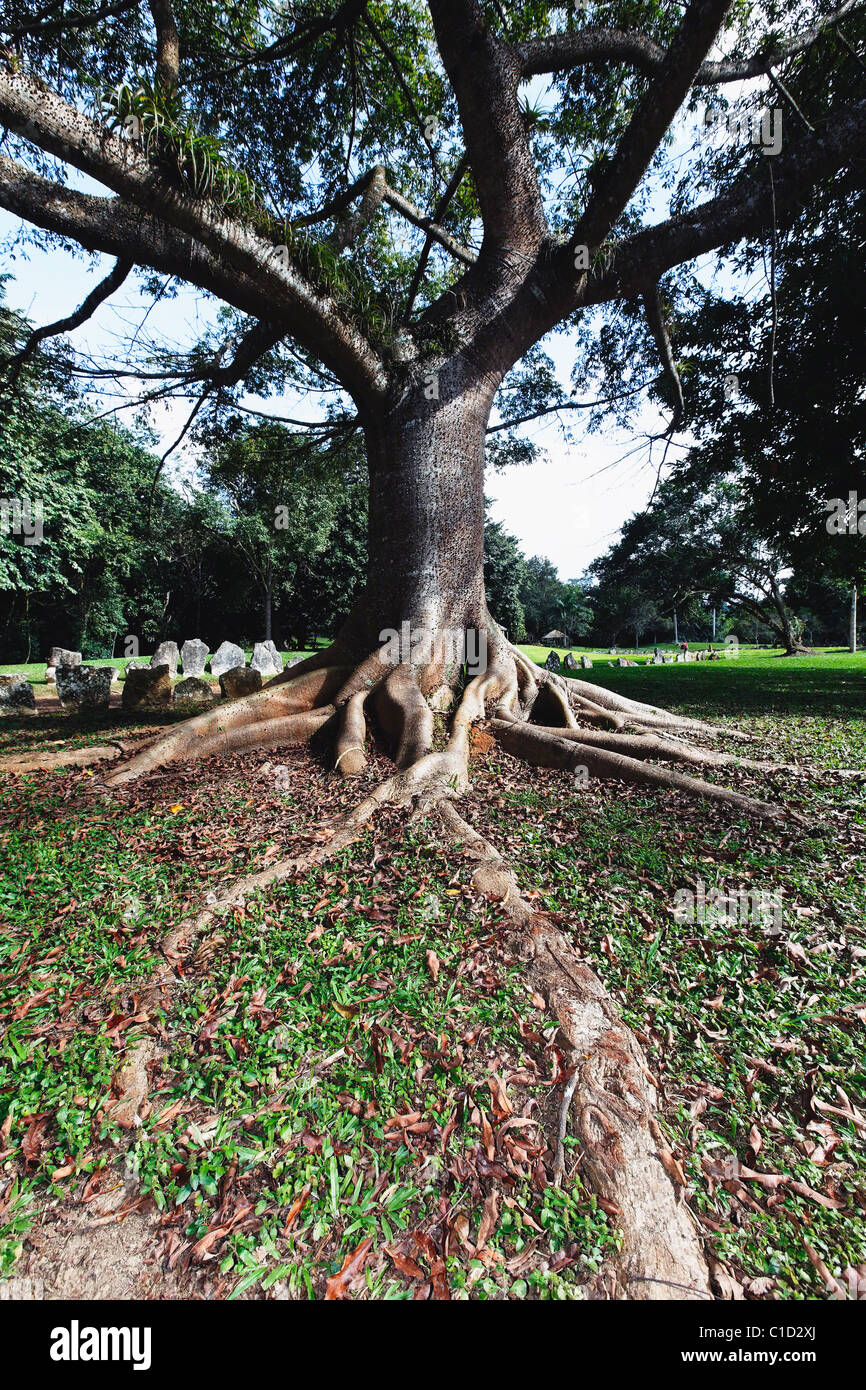 Ceiba Tree with Buttress Roots, Caguana Ceremonial Park, Utuado, Puerto Rico - Stock Image