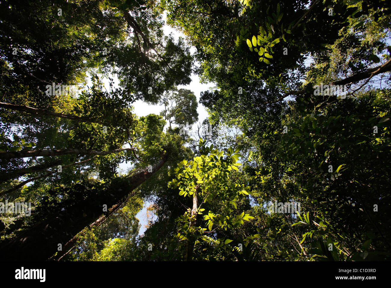 Looking up through the canopy of the primary growth tropical rain forest in Corcovado National Park, Osa Peninsula, - Stock Image