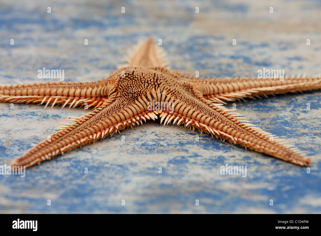 The starfish (Asteroidea) lies onboard a blue boat. Alvor, Algarve, PORTUGAL - Stock Image