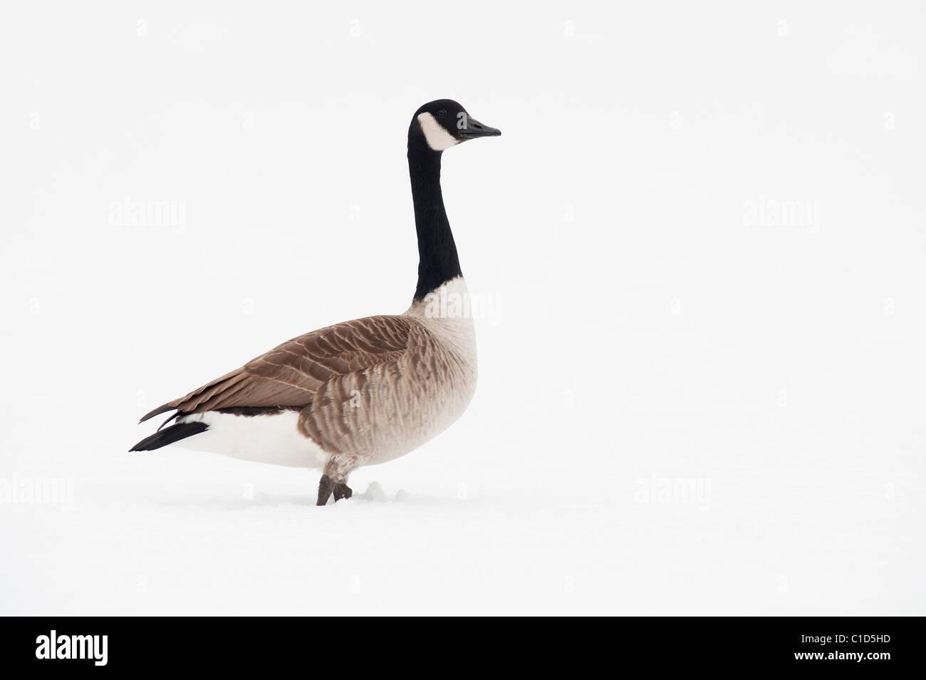 canada goose manchester