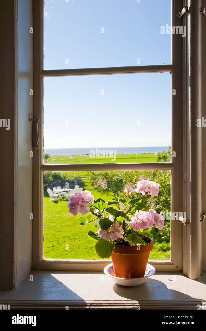 Pelargonium on the windowsill of an old house with a view over the sea, Gotland, Sweden. - Stock Image
