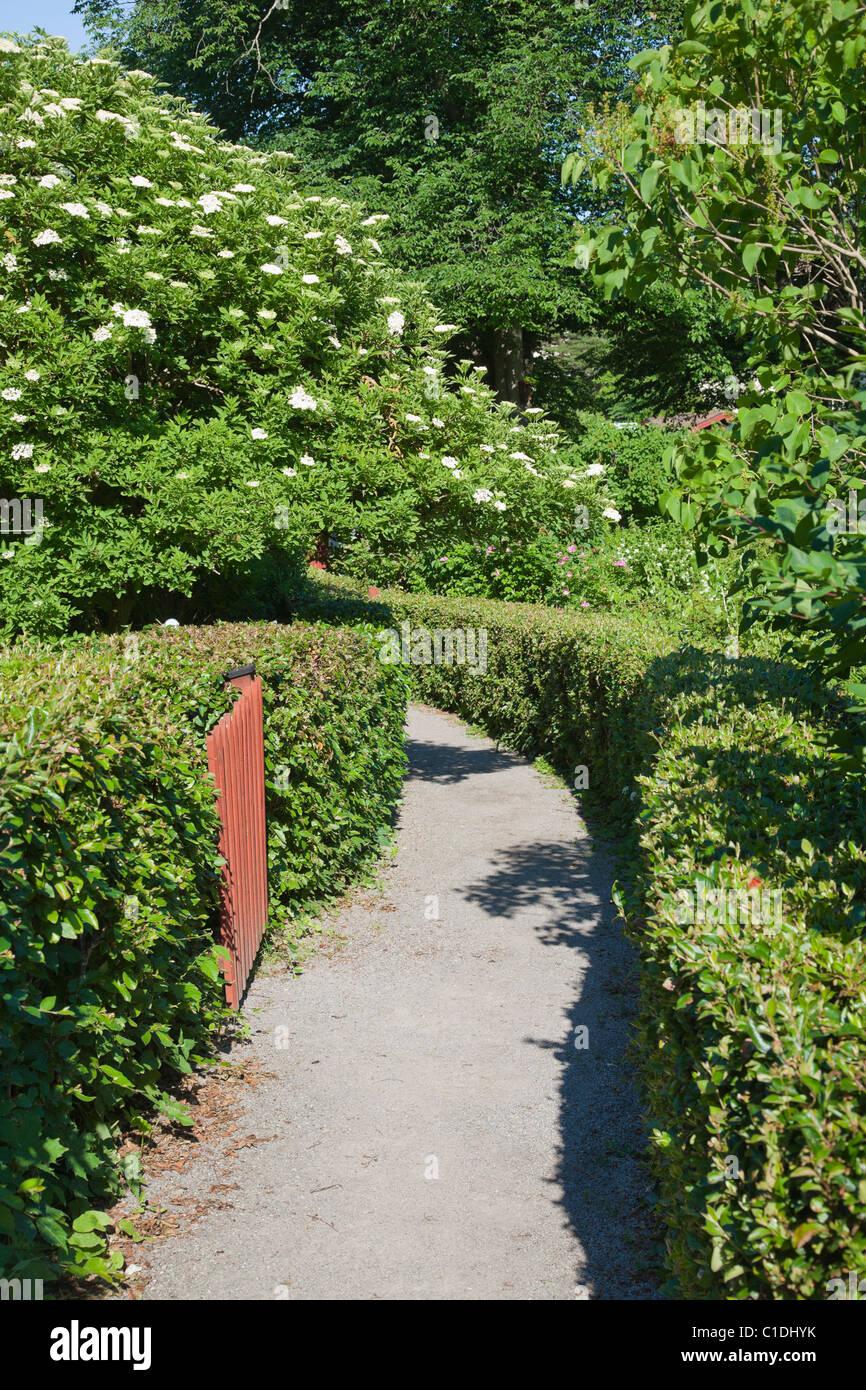 A path between two well cut hedges. A flowering elder (Sambucus nigra) on the left. - Stock Image