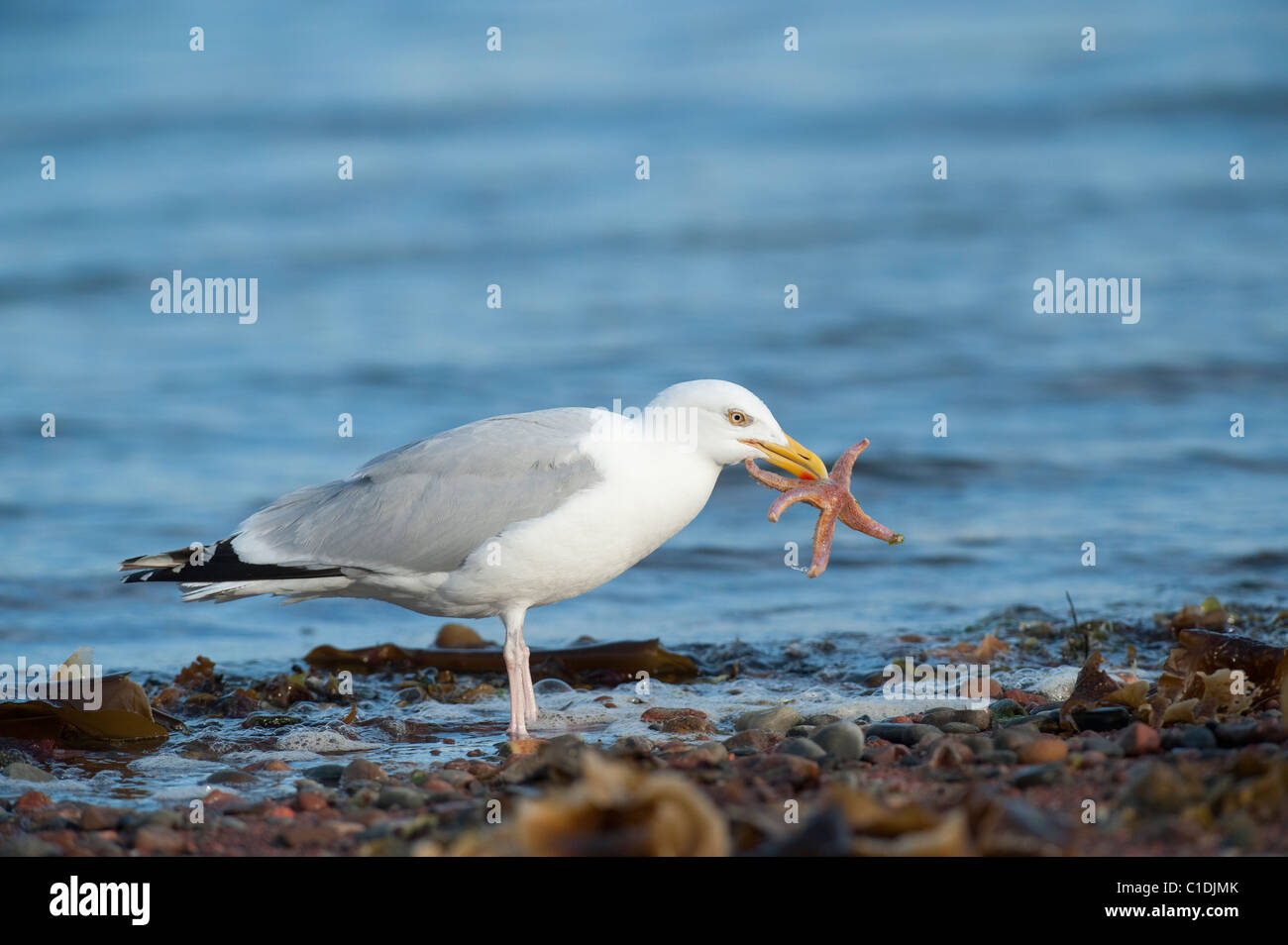 Herring Gull (Larus argentatus) Chanonry Point. Moray Firth, Scotland, UK. Feeding on starfish. - Stock Image