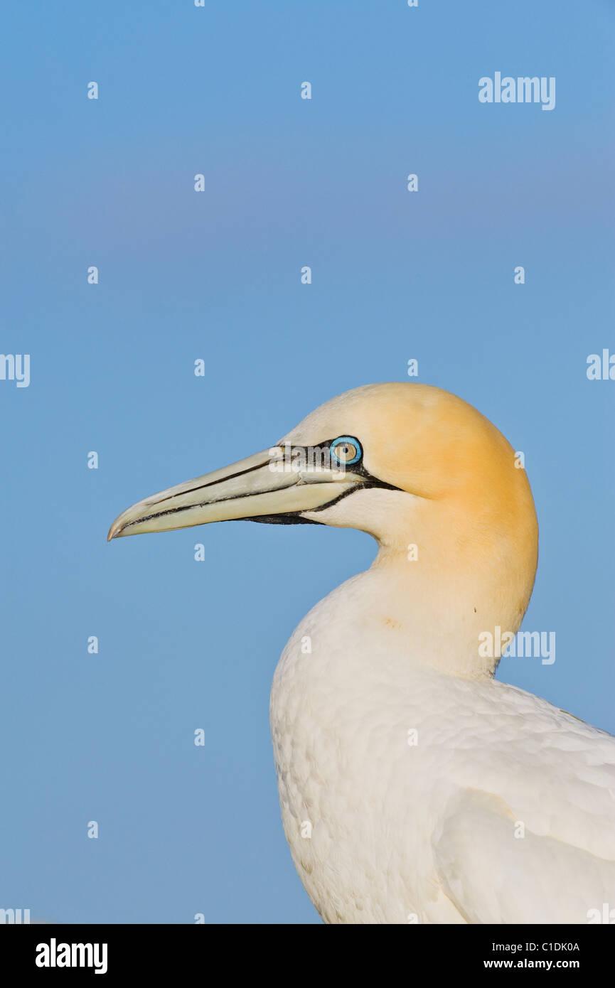 Northern Gannet (Morus bassanus), Saltee Islands, Ireland - Stock Image