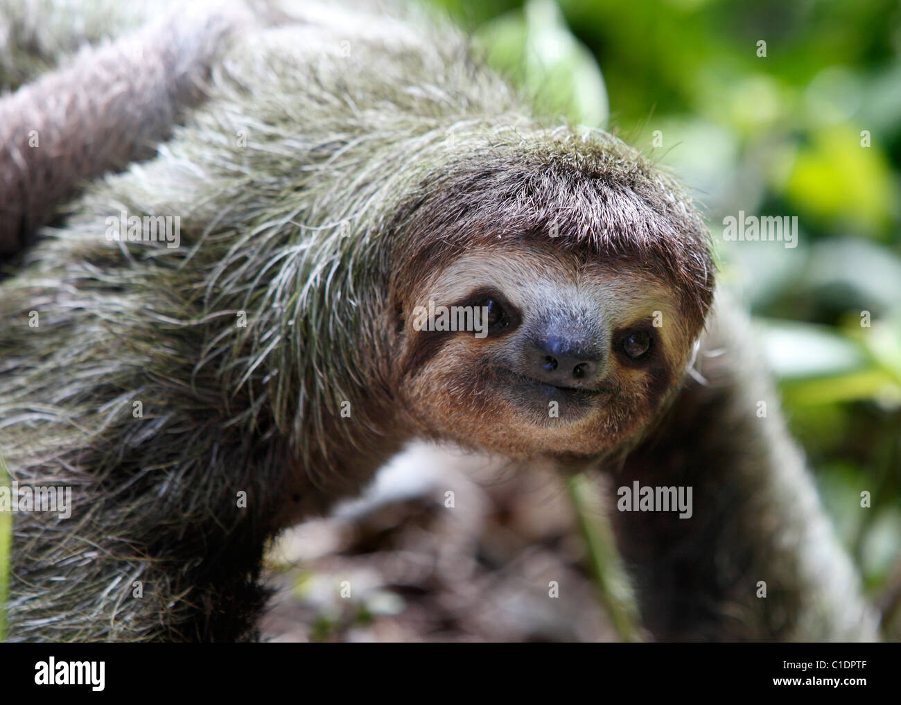 A three-toed sloth moves along the ground, Osa Peninsula, Costa Rica - Stock Image