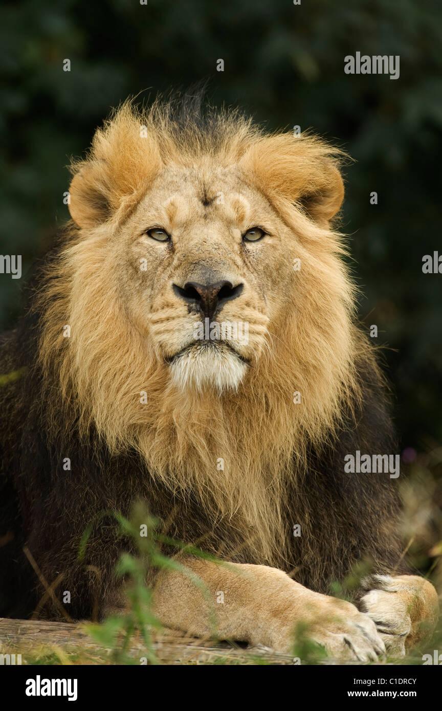 Asian Lion (Panthera leo persica) India. Captive - Stock Image