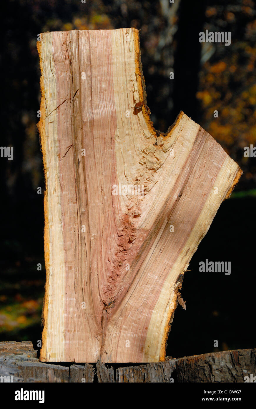 Cross section of a freshly cut Red Oak tree trunk - Stock Image