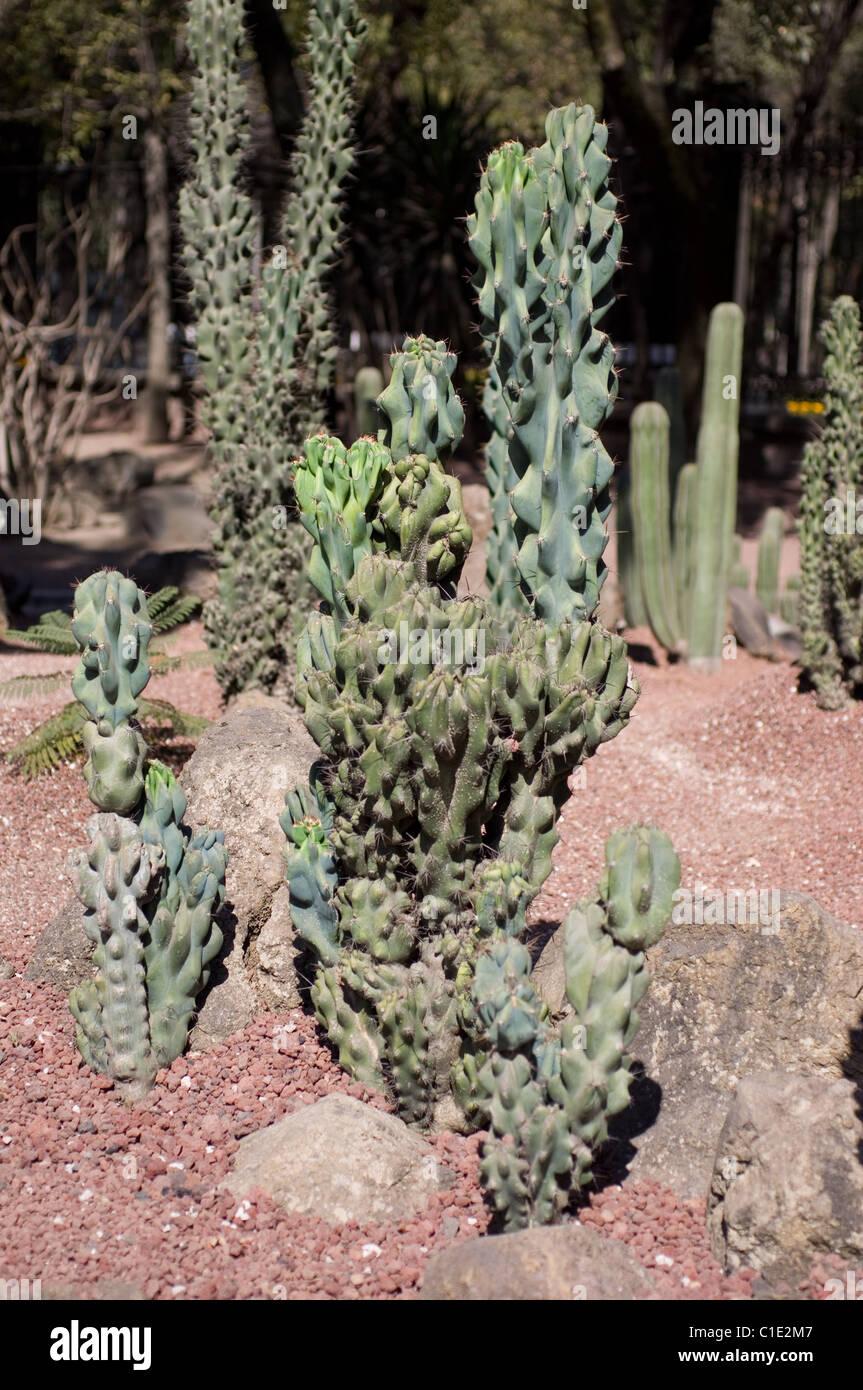 Totem pole cactus musaro lophocereus schottii var monstrosa