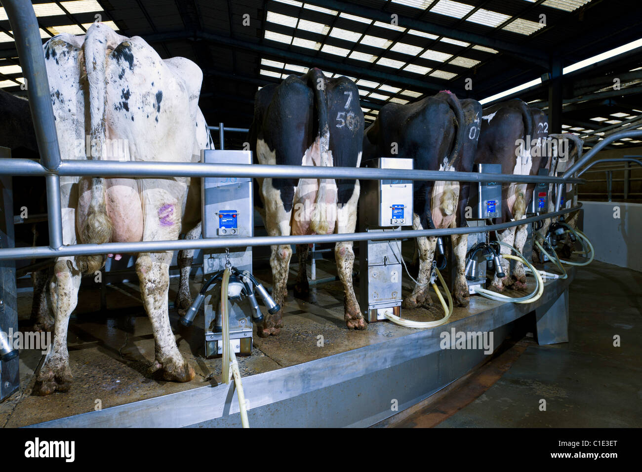 Rotary milking parlour on a modern uk dairy farm stock image