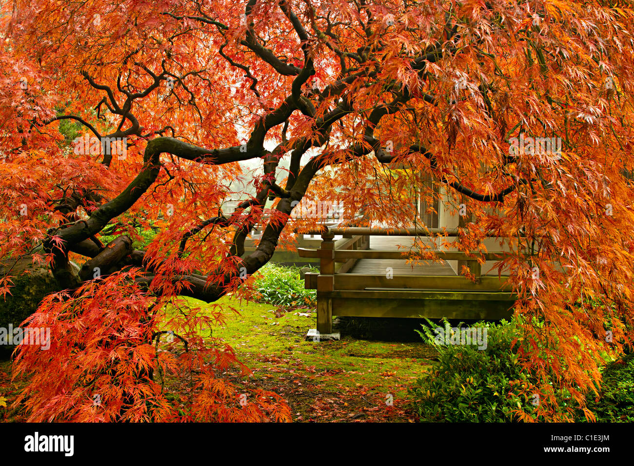Red Lace Leaf Maple Tree in Autumn at Portland Japanese Garden Stock ...