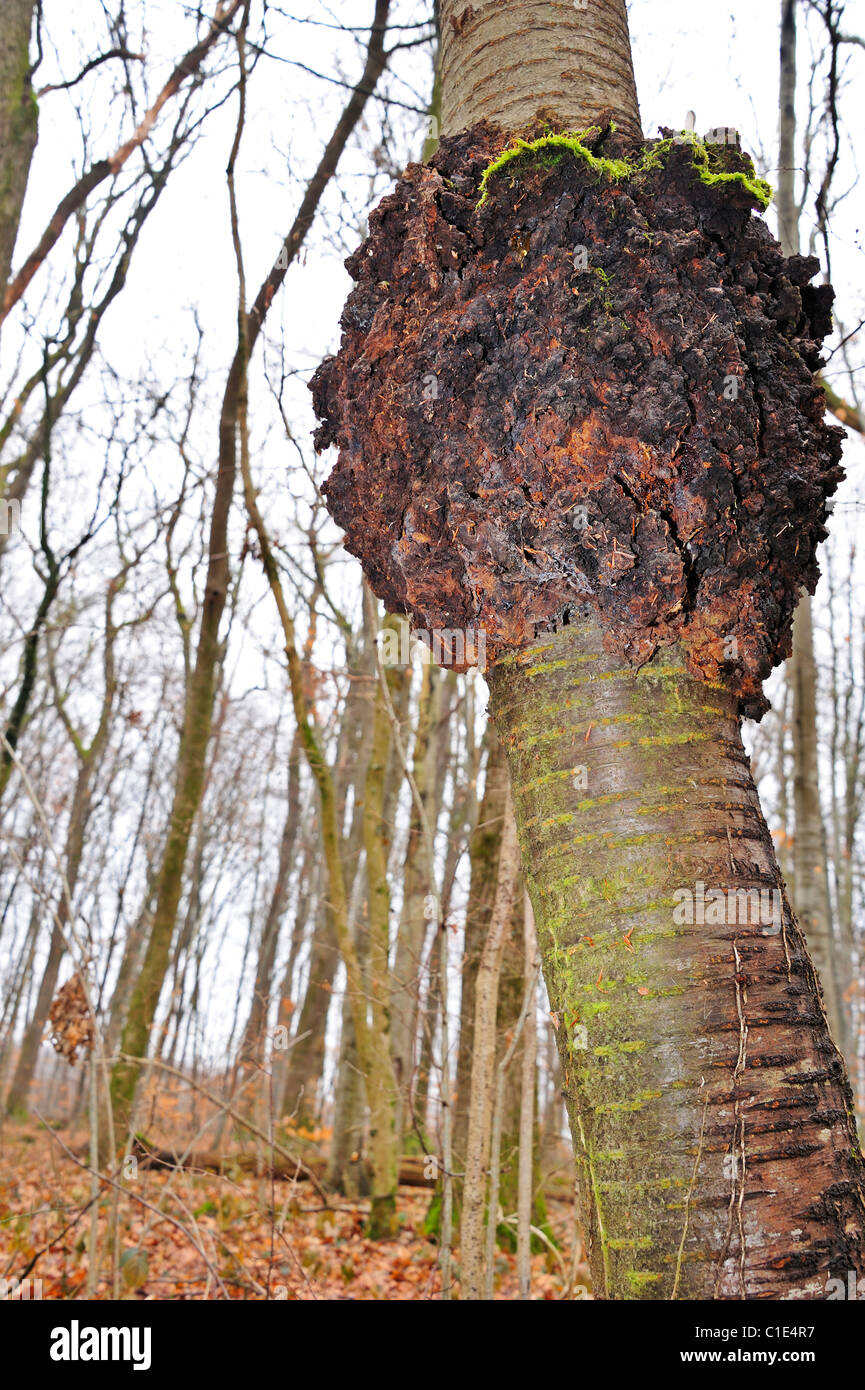 A burr (or burl) on the trunk of a wild cherry tree (Prunus avium) - Stock Image