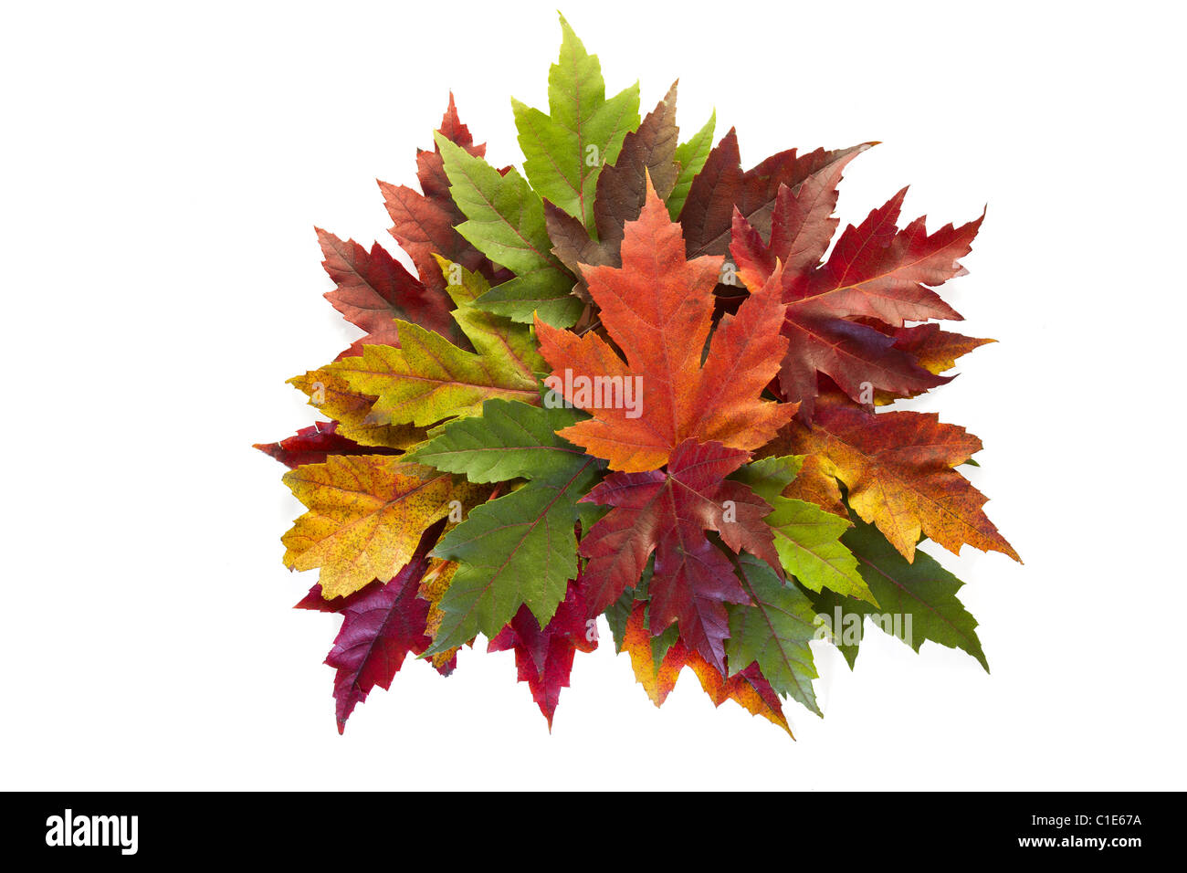 Maple Leaves Mixed Fall Colors Autumn Wreath on White Background - Stock Image