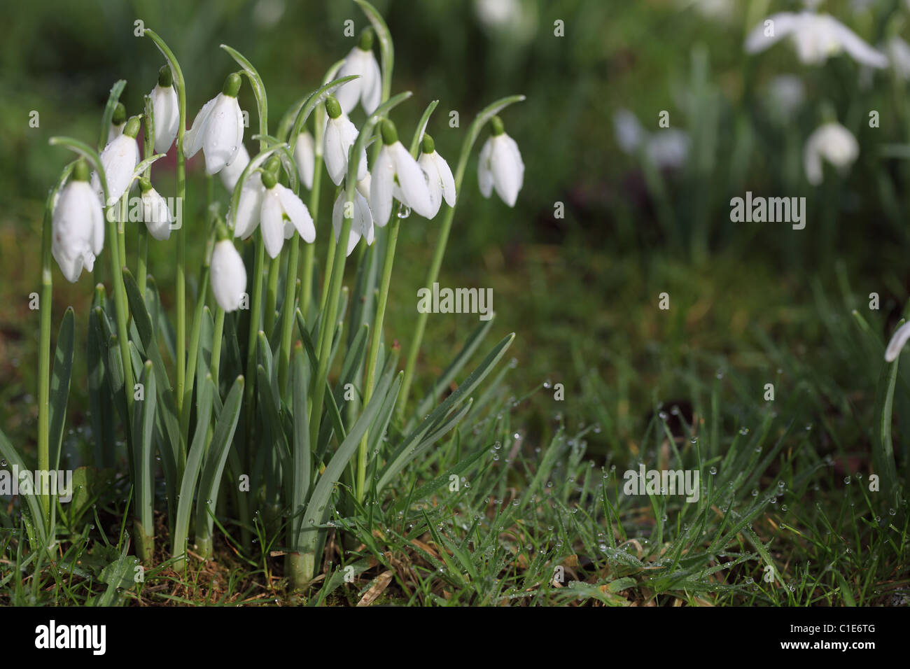 Close up of Snowdrops flowering in the grass - Stock Image