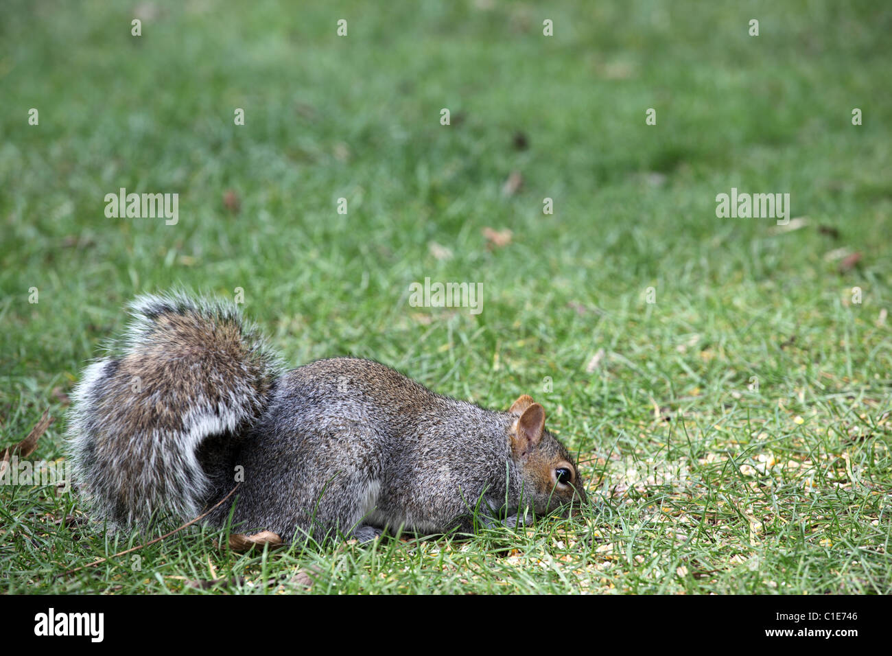 BHZ Close up of a Grey Squirrel (sciurus carolinensis) against a blurred green background - Stock Image