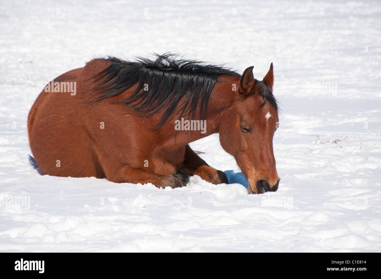 Red bay horse sleeping on snow on a bright winter day - Stock Image