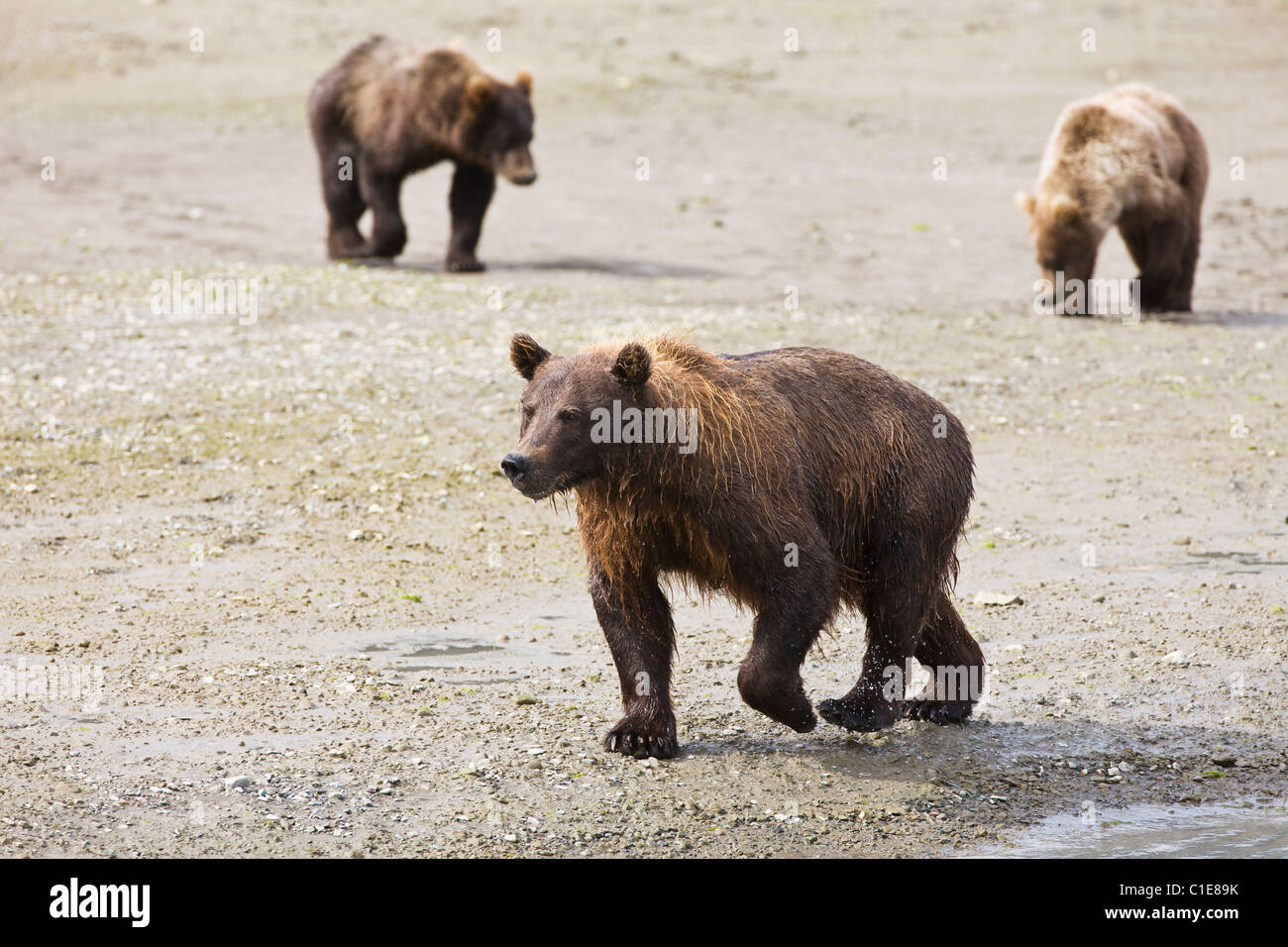 Sow brown bear and cubs near Horn Creek looking for spawning salmon in Chinitna Bay area of Lake Clark National - Stock Image