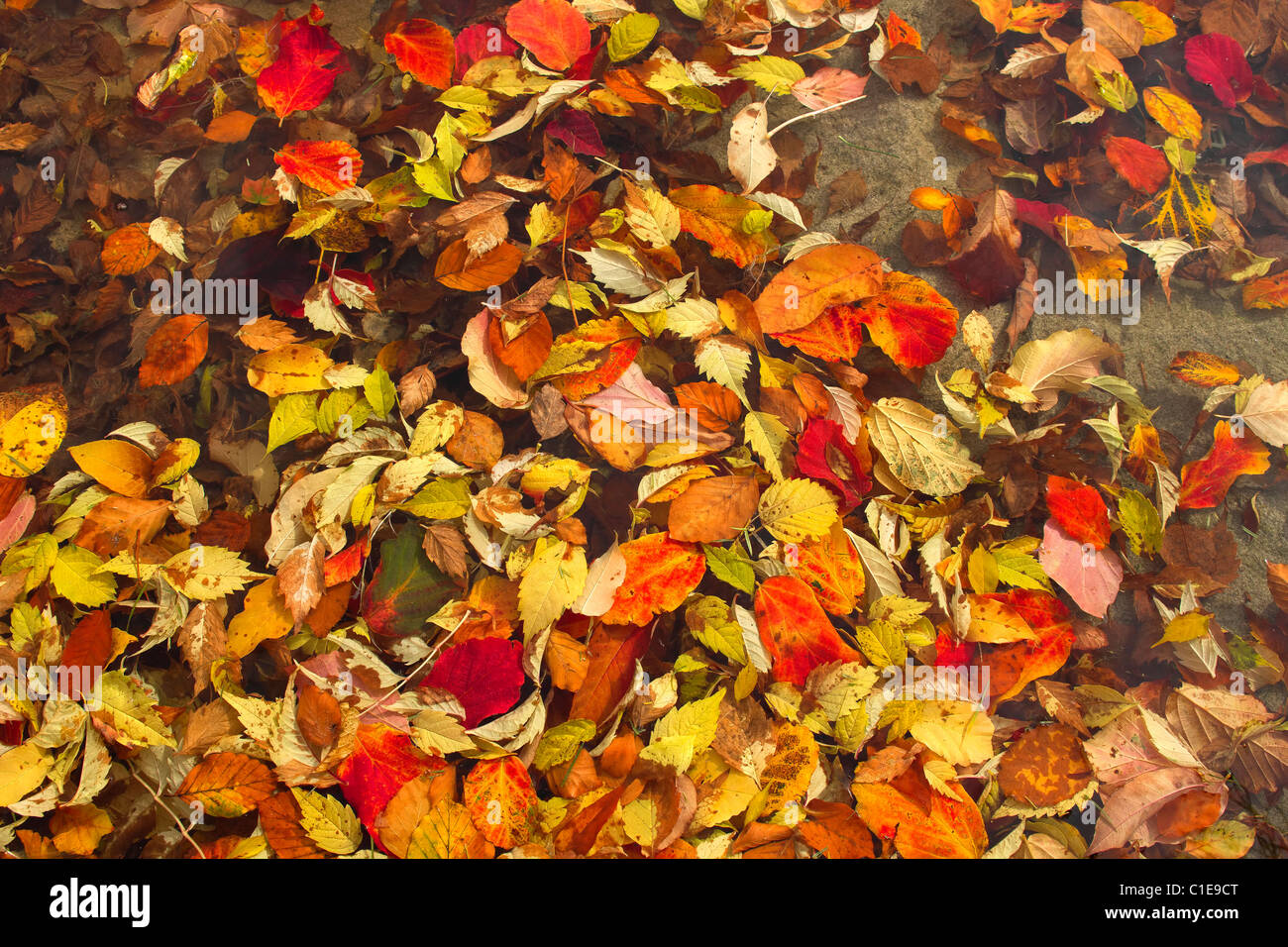 Floating Fall Leaves in Pond at Public Park in Autumn - Stock Image