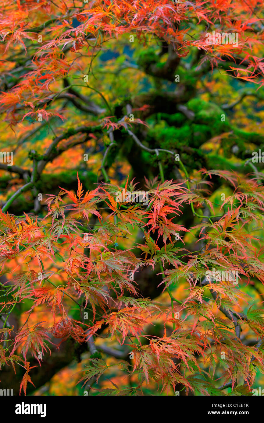Old Japanese Red Lace Leaf Maple Tree in Autumn Stock Photo