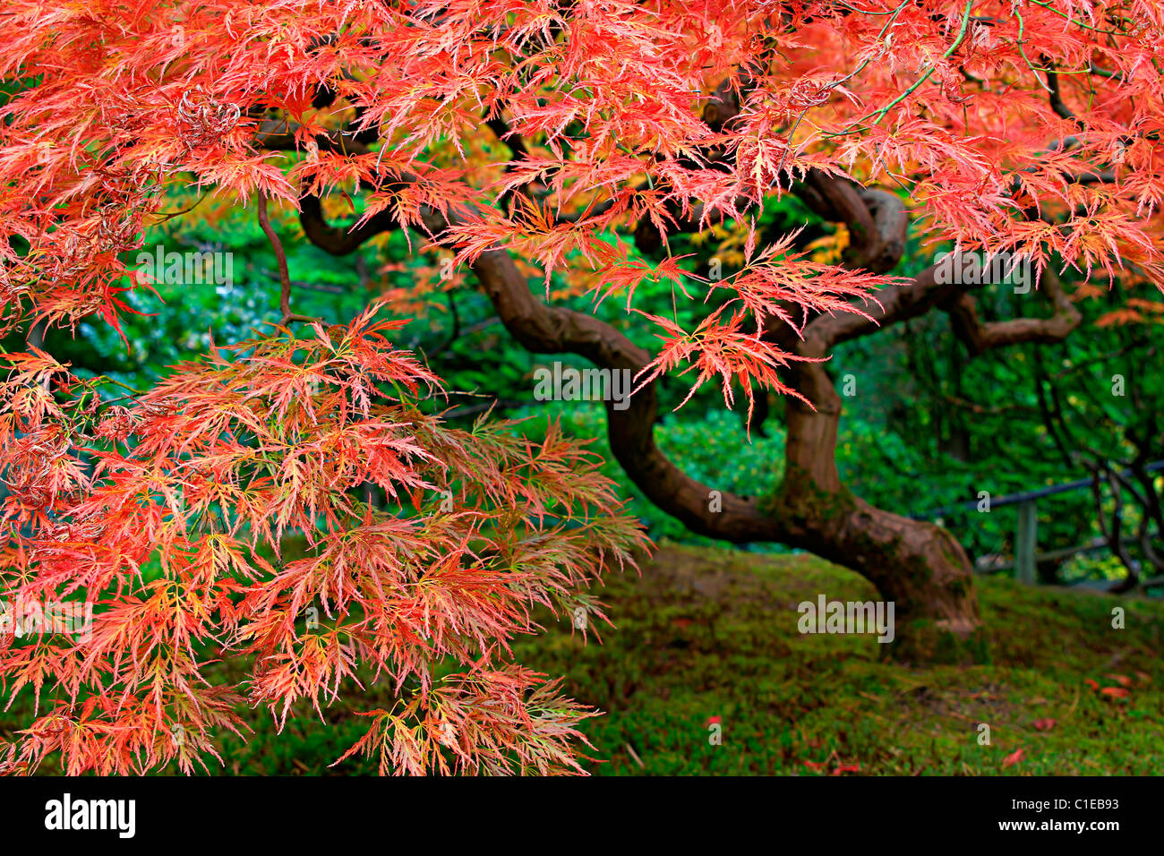 Old Japanese Red Lace Leaf Maple Tree in Autumn 2 Stock Photo