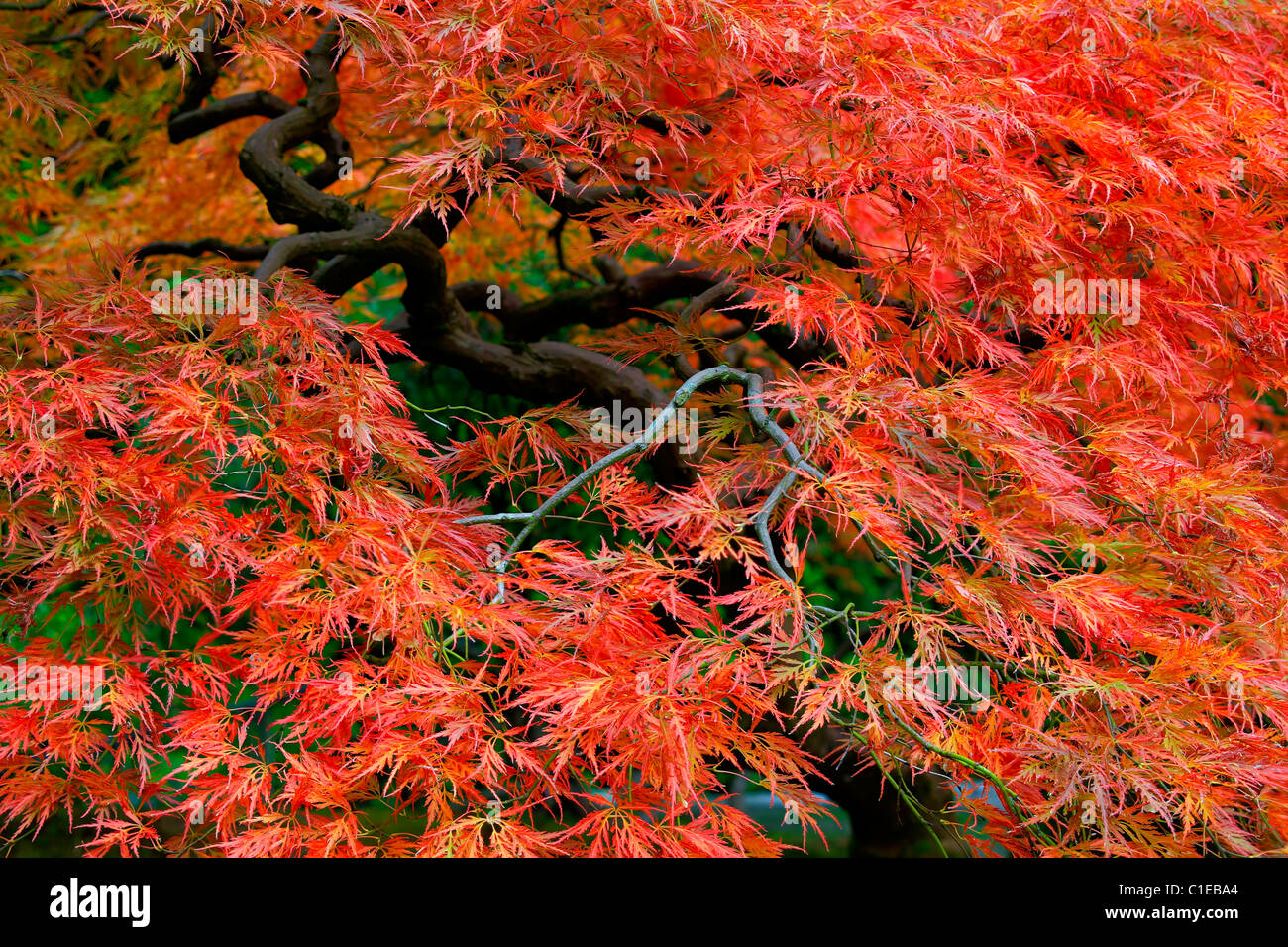 Old Japanese Red Lace Leaf Maple Tree in Autumn 3 Stock Photo