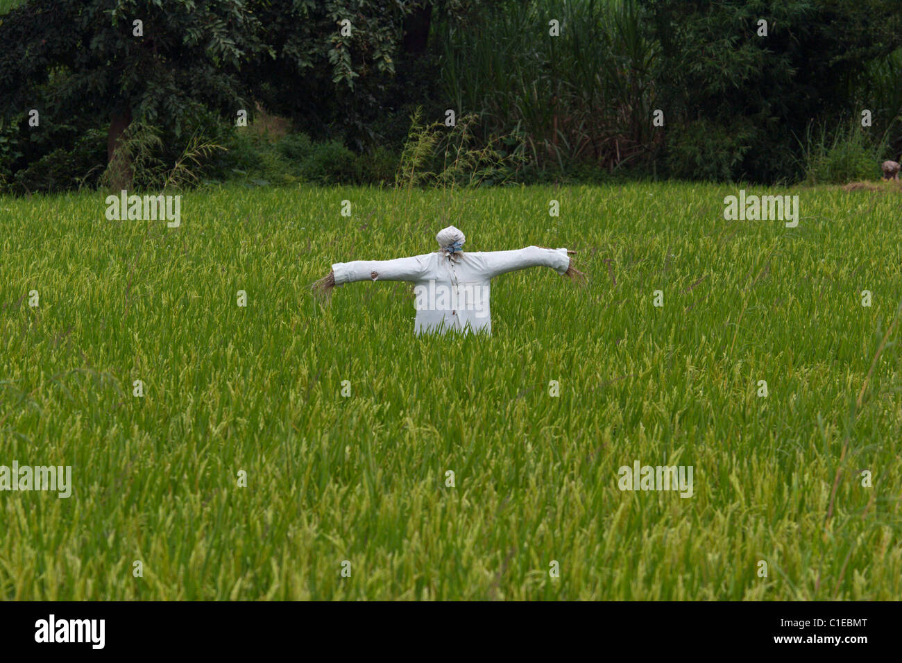 scare crow fields India rice sugar cane farming agriculture - Stock Image