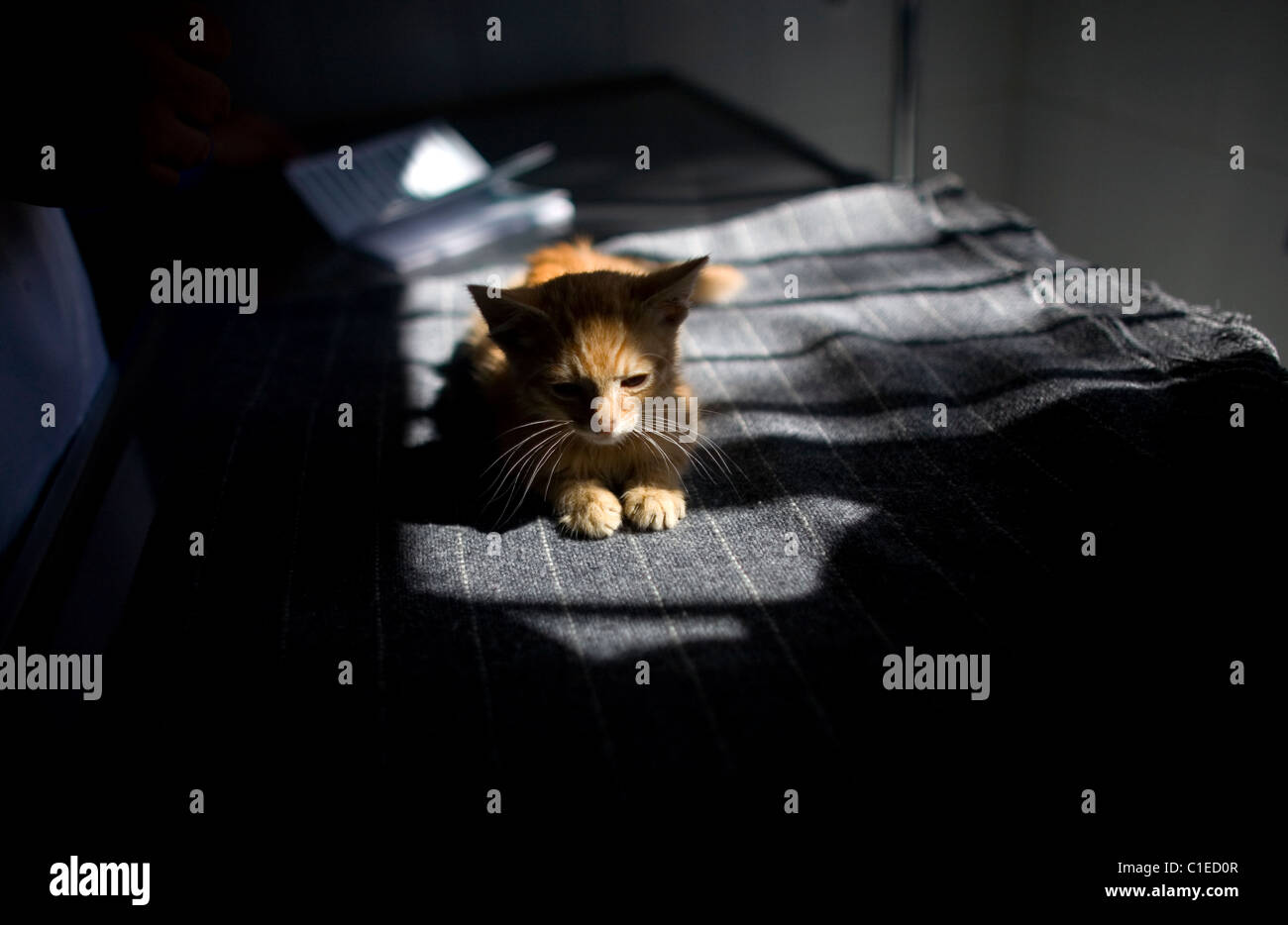 A kitten is attended by a vet at a Pet Hospital in Condesa, Mexico City, Mexico, February 4, 2011. - Stock Image