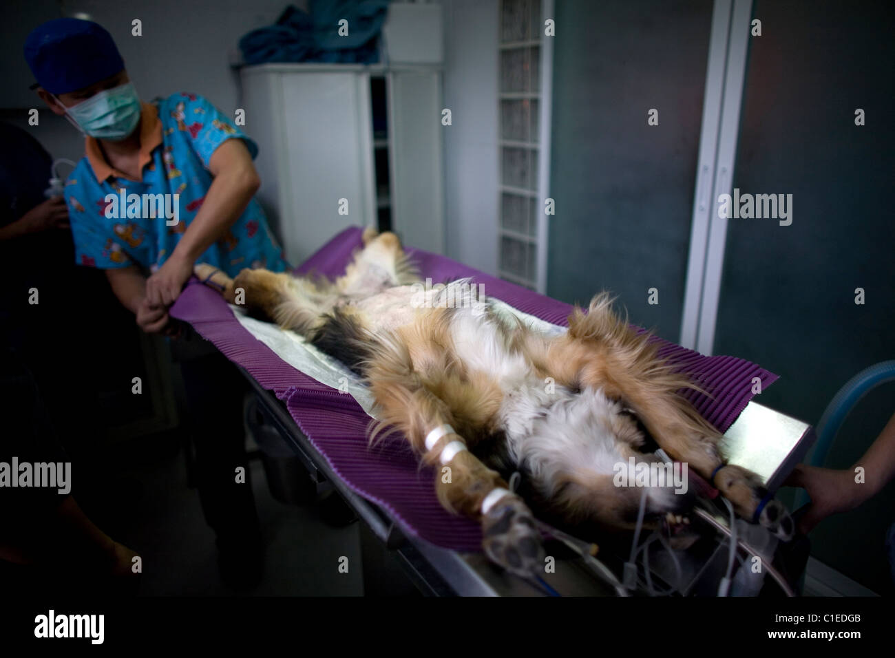 A surgeon ties a sedated dog before a surgery at a Pet Hospital in Condesa, Mexico City, Mexico, February 4, 2011. - Stock Image