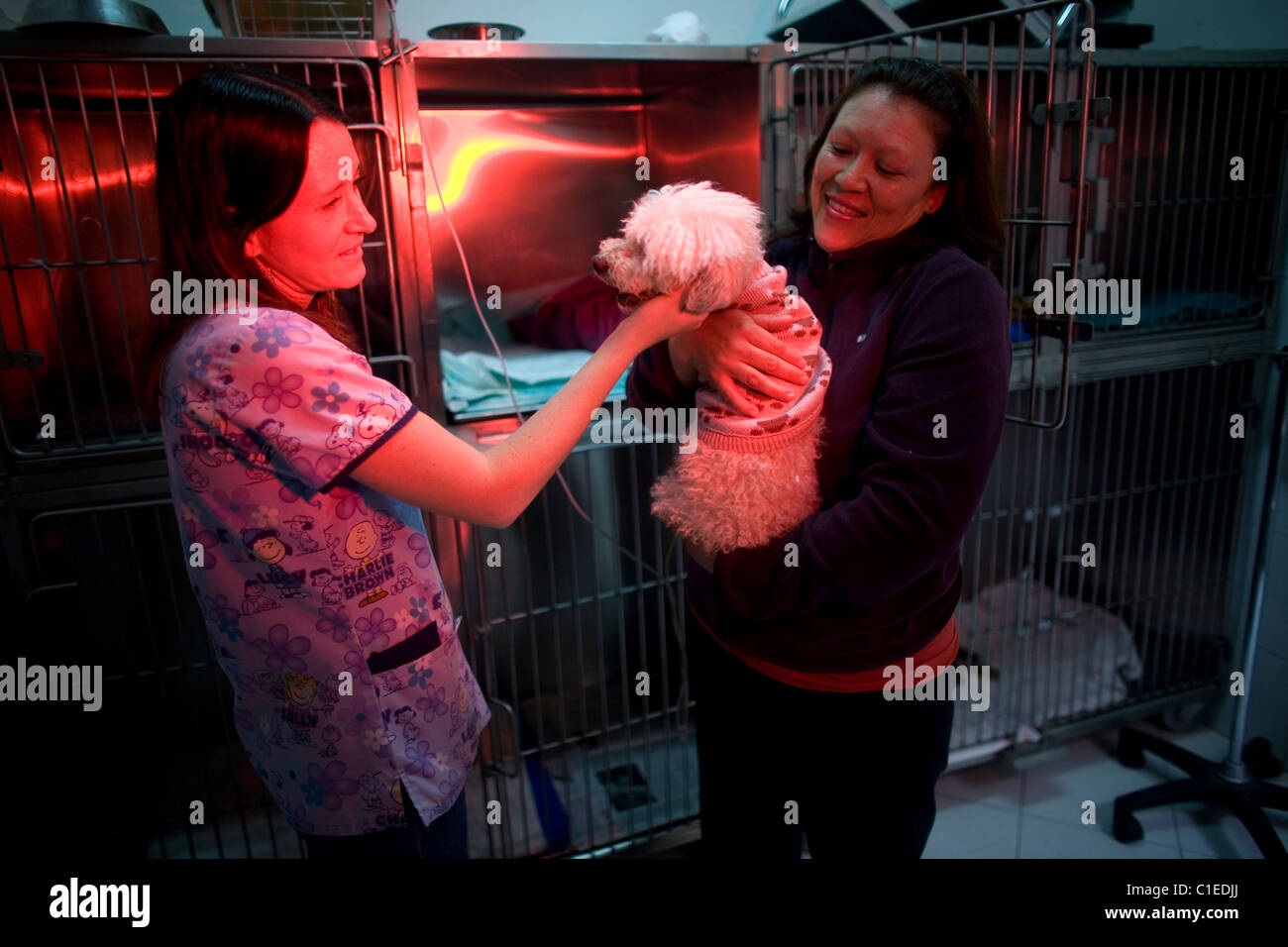 A owner visits her Poodle dog as he recovers at a Pet Hospital in Condesa, Mexico City, Mexico, February 4, 2011. - Stock Image