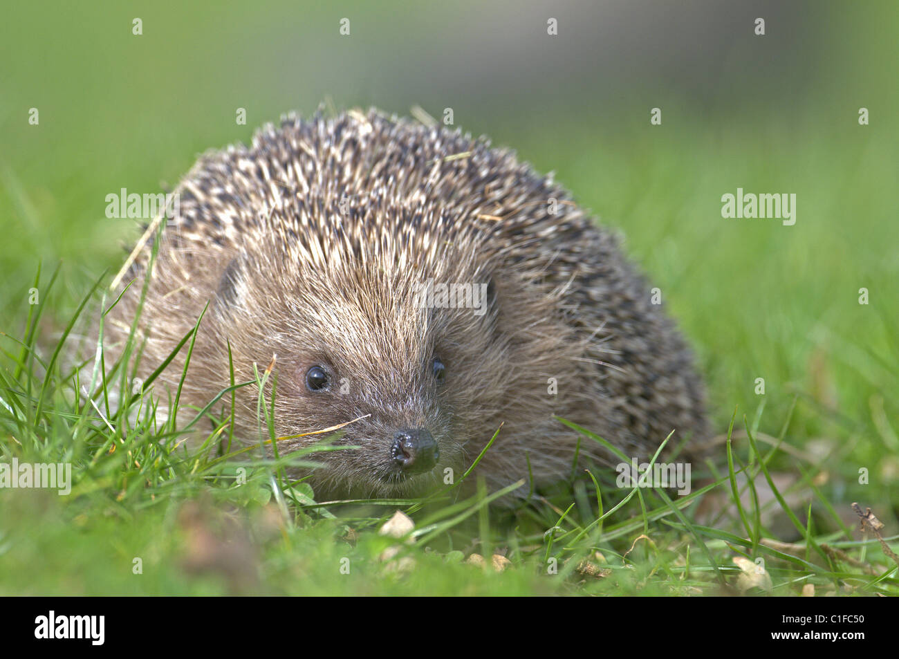 HEDGEHOG ERINACEUS EUROPAEUS ON GRASS UK - Stock Image