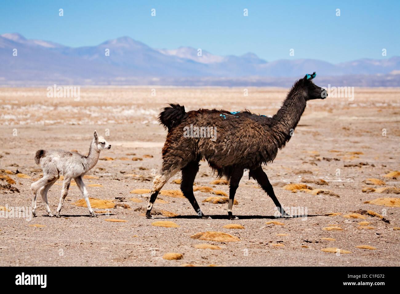 Llamas in countryside, Bolivia, South America - Stock Image