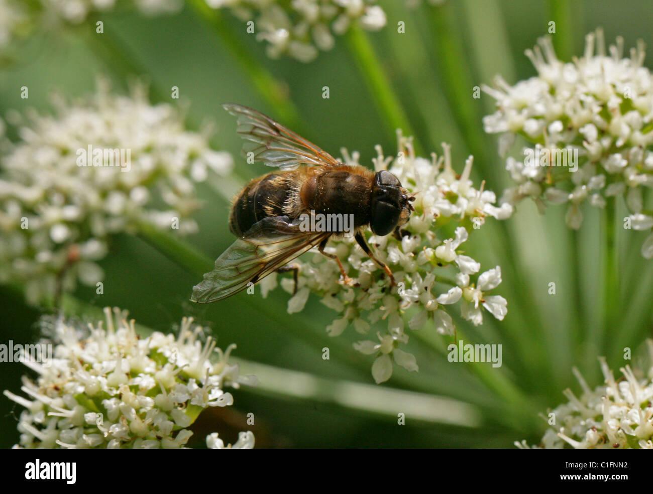 Female Honeybee Mimic, Dronefly or Hoverfly, Eristalis pertinax, Diptera. Feeding on Hemlock Water Dropwort Flowers. - Stock Image
