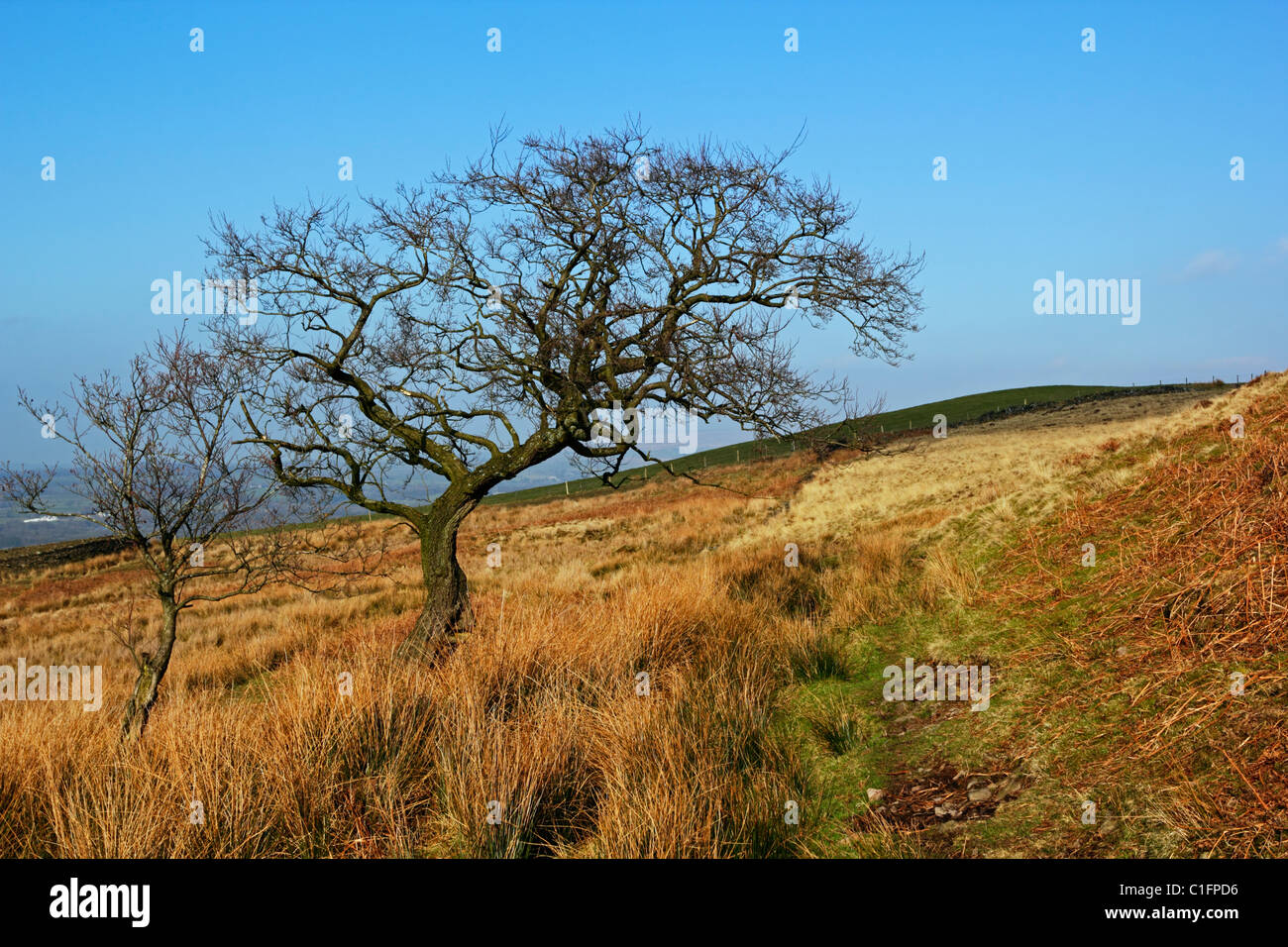 Hawthorn trees in the Forest of Bowland AONB, Lancashire. - Stock Image